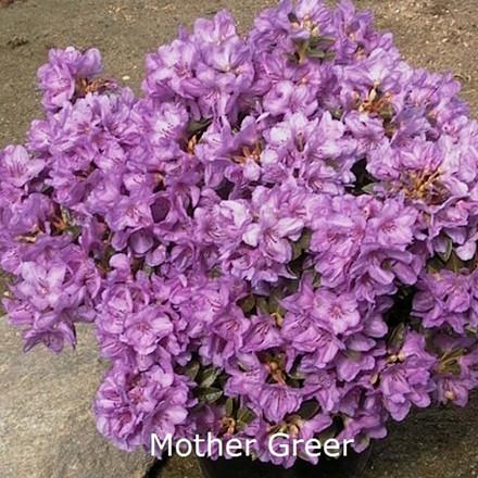 Rhododendron Småbl. calostrotum 'Mother Greer'  - Salgshøjde: 15-20 cm.