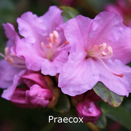 Rhododendron Småbl. carolinianum 'Praecox'  - Salgshøjde: 30-40 cm.