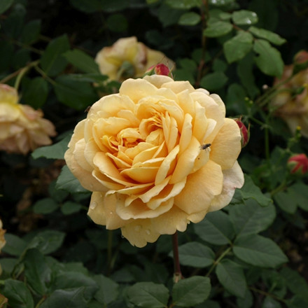 Rose Golden Celebration (engelsk rose (kan anvendes som slyngrose) , barrotad