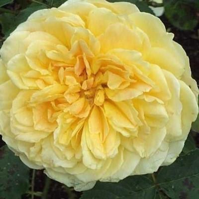 Rose Molineux (engelsk rose) , barrotad