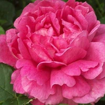 Rose Noble Anthony (engelsk rose) , barrotad