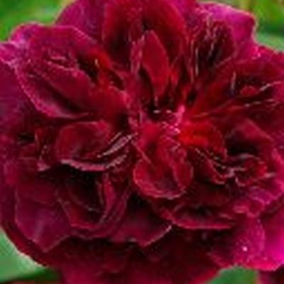 Rose Munstead Wood (engelsk rose) , barrotad