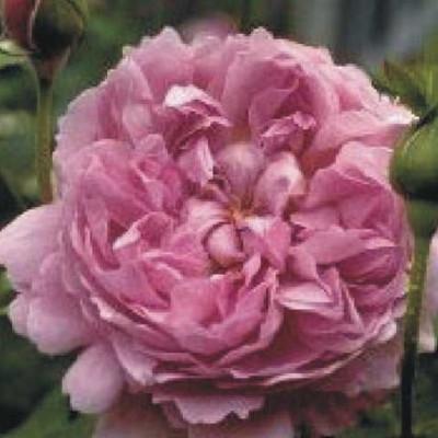 Rose Charles rennie Mackintosh (engelsk rose) , barrotad