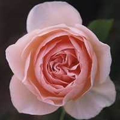 Rose Heritage (engelsk rose) , barrotad