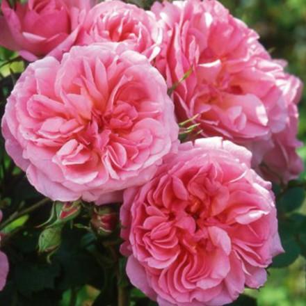 Rose Hyde Hall (engelsk rose) , barrotad