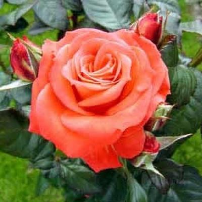 Rose 'Dronning Ingrid' (storblomstrende)  barrotad