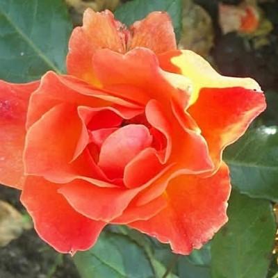 Rose 'Fellowship' (buketrose) barrodet