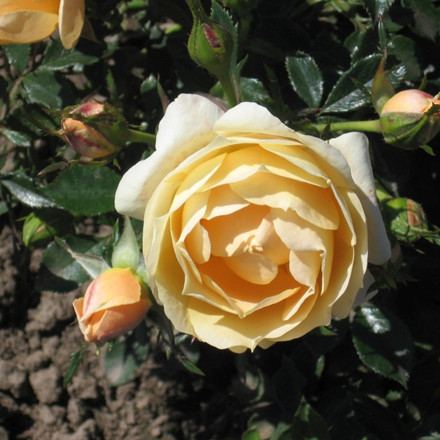 Rose 'Amber Cover' (bunddækkerose) barrodet