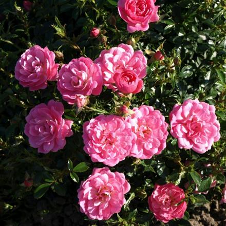 Rose 'Easy Cover' (bunddækkerose) barrodet