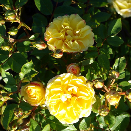Rose 'Golden Eye Cover' (bunddækkerose) barrotad