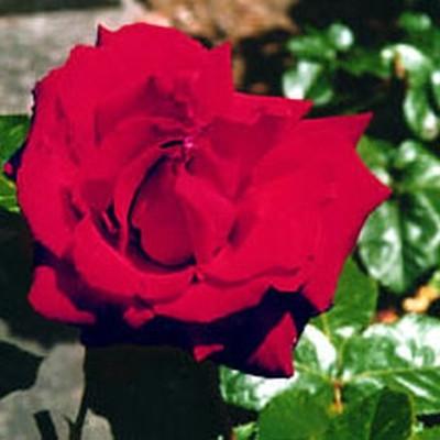Rose Ingrid Bergman (storblomstrende)  , barrotad