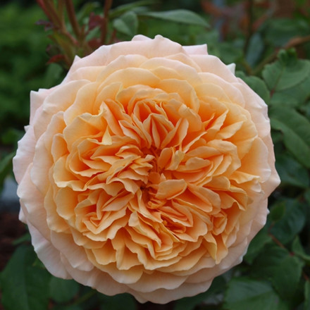 Rose 'Crown Princess Margaretha' (engelsk rose ) barrotad
