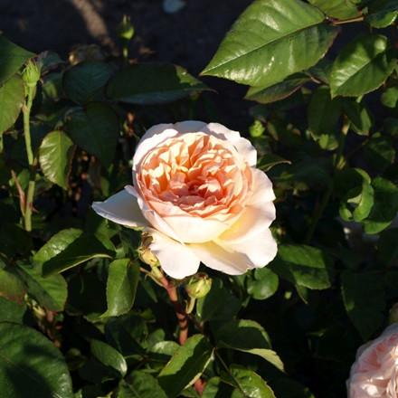 Rose 'Evelyn' (engelsk rose) barrotad