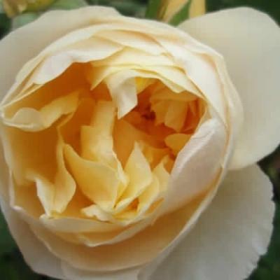 Rose Graham Thomas (engelsk rose (kan anvendes som slyngrose), barrotad
