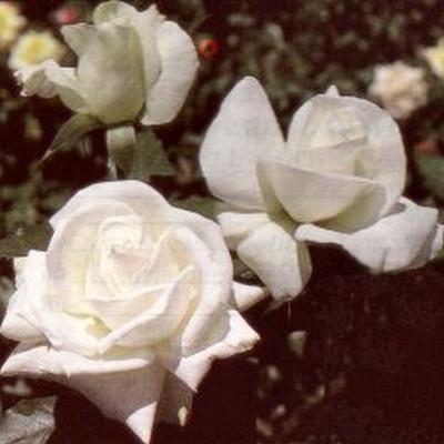 Rose Karen Blixen (storblomstrende)  , barrotad