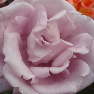 Rose 'Blue Moon' (storblomstrende)  barrotad