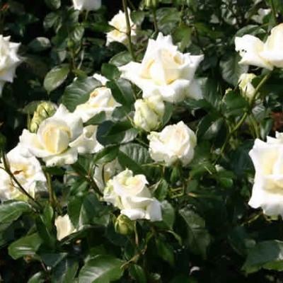 Rose 'Caroline de Monaco' (storblomstrende) barrotad