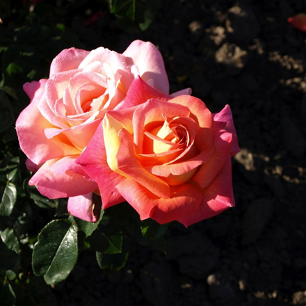 Rose 'Chicago Peace' (storblomstrende)  barrotad