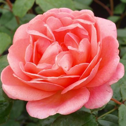 Rose 'From far away' (storblomstrende) barrotad