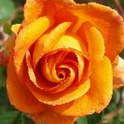 Rose Sutter's Gold (storblomstrende)  , barrotad