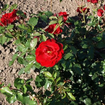 Rose 'Alain' (buketrose) barrotad