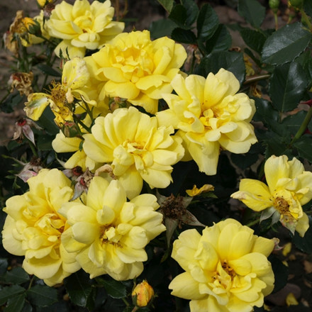 Rose 'Allgold' (buketrose) barrotad