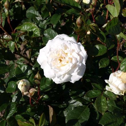 Rose Irene af Danmark (buketrose)  , barrotad