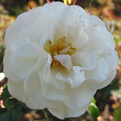 Rose 'Brilliant Cover' (bunddækkerose) barrotad