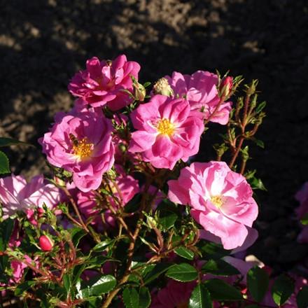 Rose Lavender Cover (bunddækkerose) , barrotad