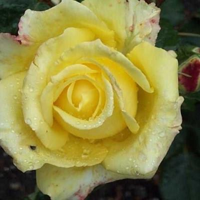 Rose Peer Gynt (storblomstrende)  , barrotad