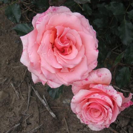 Rose 'Frederiksborg' (buketrose) barrodet