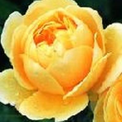 Rose Charlotte (engelsk rose) , barrotad
