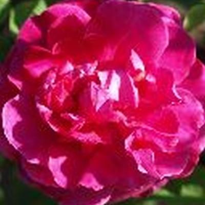 Rose England's Rose (engelsk rose) , barrotad