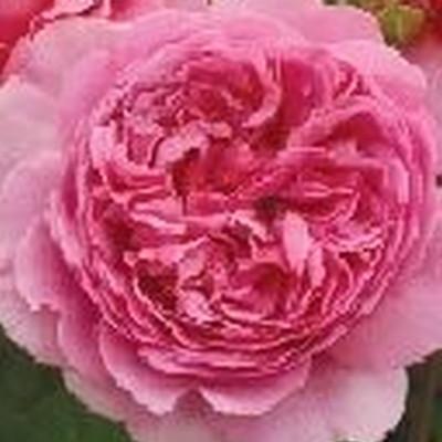 Rose Princess Alexandra of Kent (engelsk rose) , barrotad