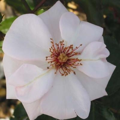 Rose 'Bolero' (slyngrose) barrotad