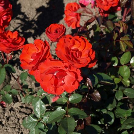 Rose 'Allotria' (buketrose) barrotad