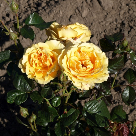 Rose 'Amber Queen' (buketrose) barrotad