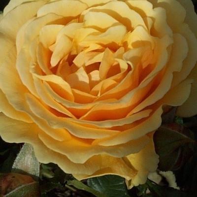 Rose 'Amber Queen' (buketrose) barrodet