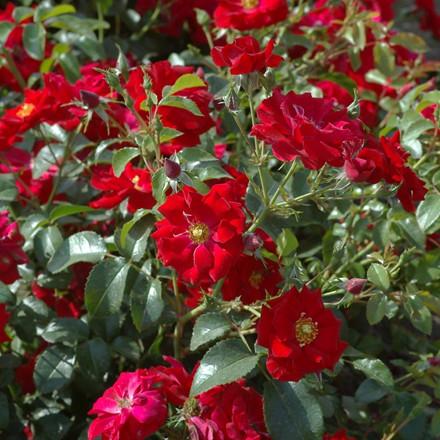 Rose 'Austriana' (bunddækkerose) barrotad