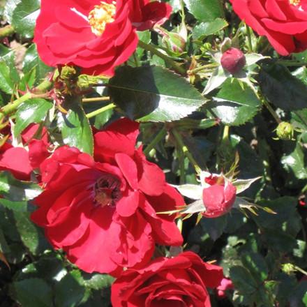 Rose 'Austriana' (buketrose) barrodet
