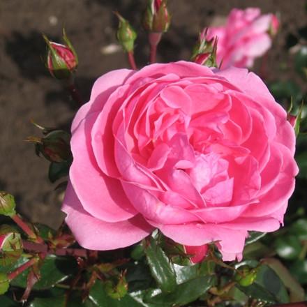 Rose 'Berleburg' (buketrose) barrotad