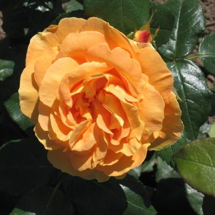 Rose 'Bernstein' (buketrose)  barrotad