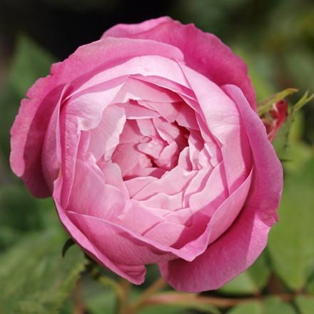 Rose La Reine Victoria (bourbon), barrotad