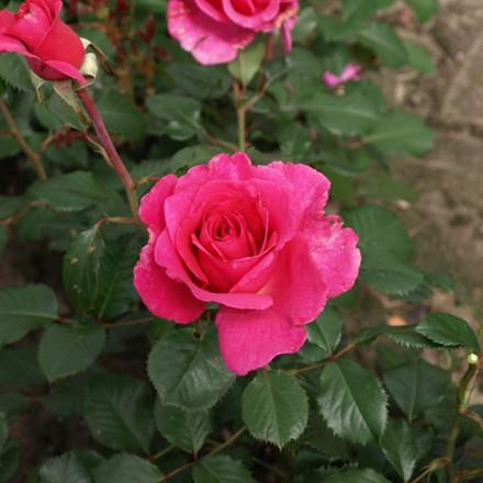 Rose 'Alexandra Renaissance' (renaissance rose) barrodet
