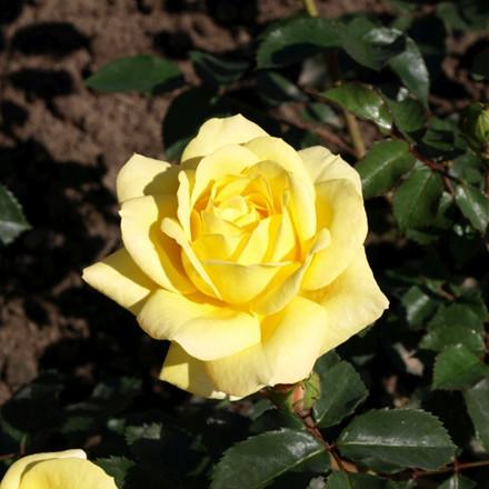 Rose Bella (renaissance rose), barrodet