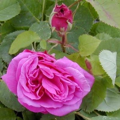 Rose 'Baronne Prévost' (buskrose) barrotad
