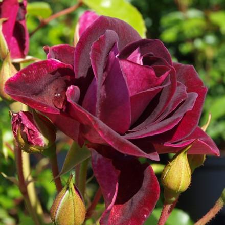 Rose 'Burgundy Ice' (buketrose) barrodet