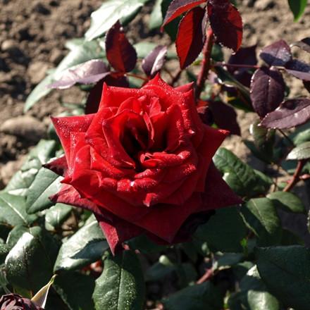 Rose 'Barkarole' (storblomstrende) barrotad