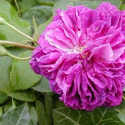 Rose 'Erinnerung an Brod' (historisk slyngrose) barrotad