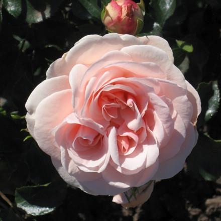 Rose 'Dronning Margrethe' (buketrose) barrotad